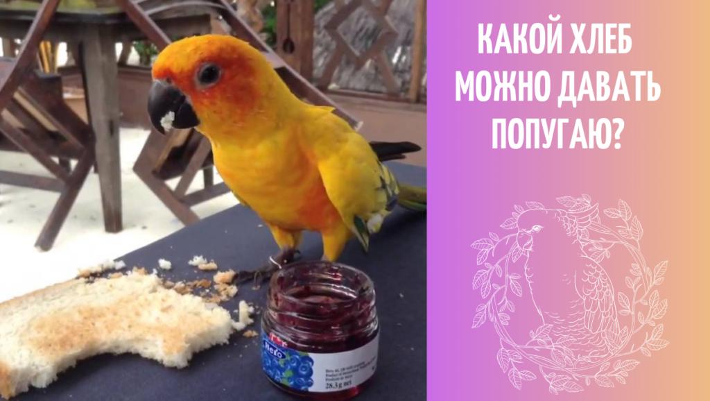 можно ли хлеб волнистому попугаю