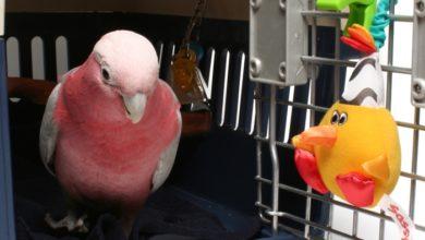 Как перевозить попугая