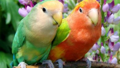 Разговаривают ли попугаи неразлучники