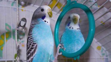Нужно ли зеркало волнистому попугаю