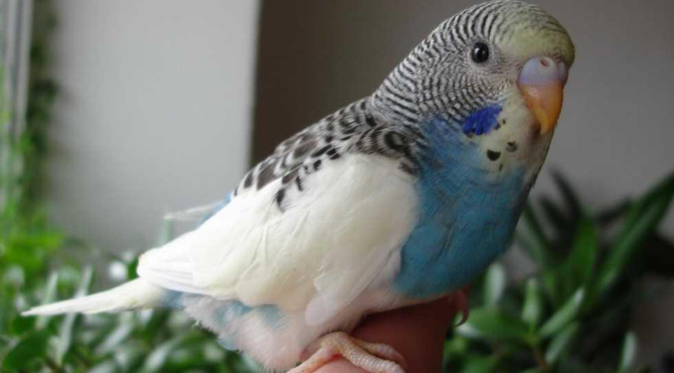 как сделать попугаю укол