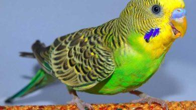 Попугай кашляет