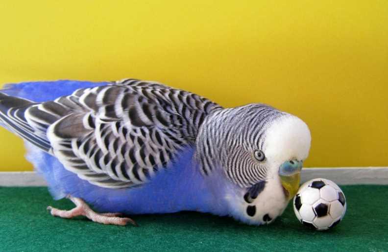 как развеселить попугая волнистого