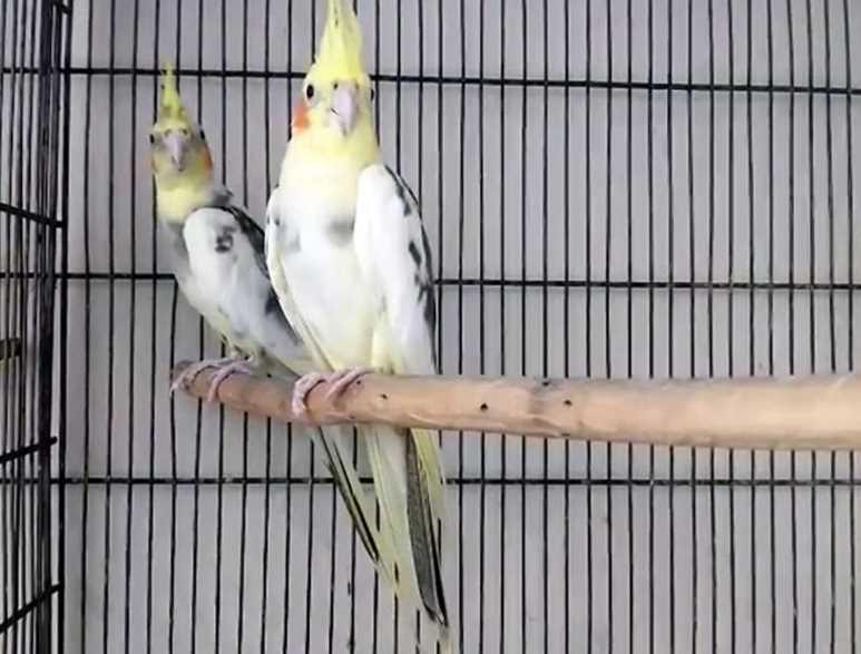 попугай корелла самец или самка