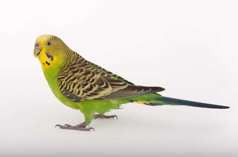 сколько лет живут волнистые попугаи в домашних условиях в клетке