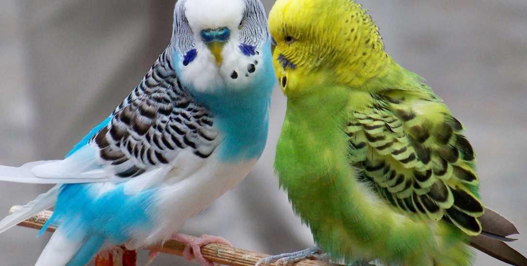 Попугай чешется