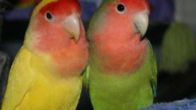 Photo of Простые способы определить возраст попугая неразлучника