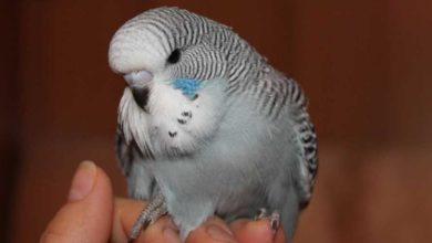 Photo of Выставочный волнистый попугай чех