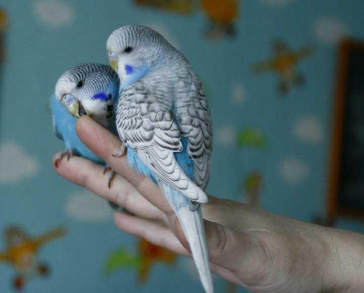 как приучить попугая к рукам если он их боится