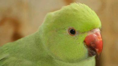 Ожереловый попугай разговаривает