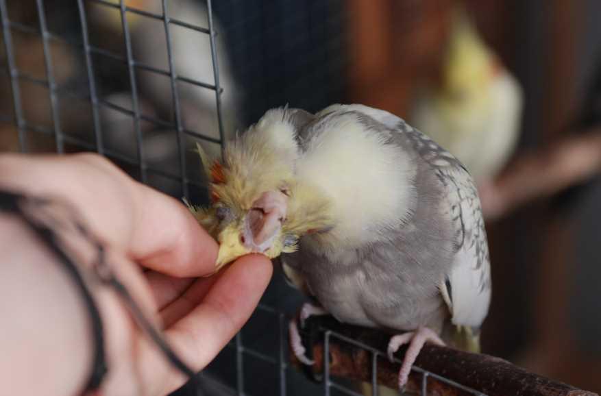 карелы попугаи содержание