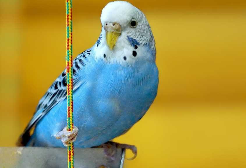 волнистый попугай уход и содержание в домашних условиях