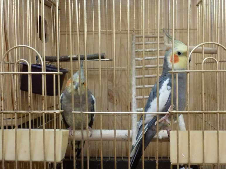 как содержать попугая корелла в домашних условиях