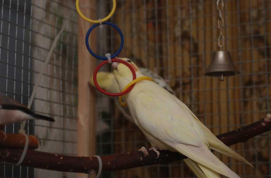 попугаи корелла содержание