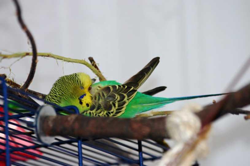 нужно ли накрывать попугая на ночь волнистого