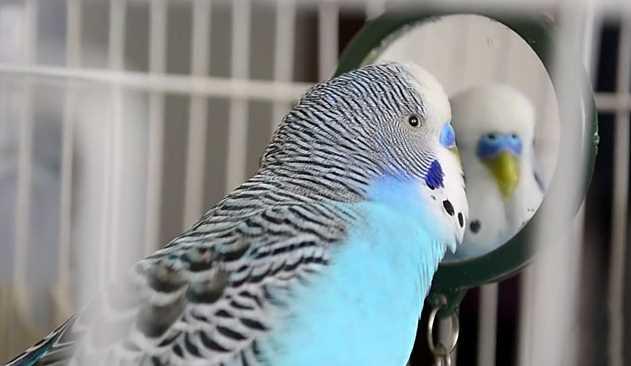 попугай смотрит в зеркало