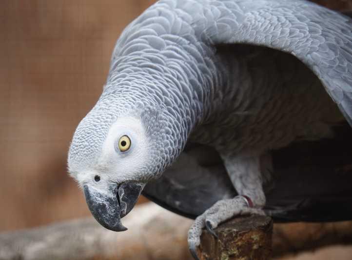 как научить попугая говорить жако