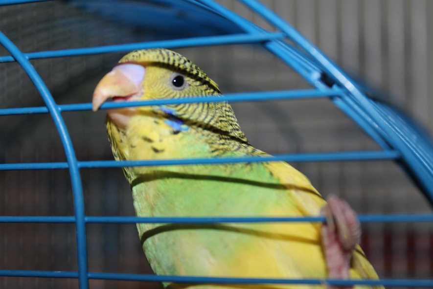 почему попугай стал кусаться