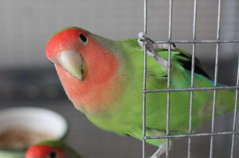 можно ли научить говорить попугая неразлучника