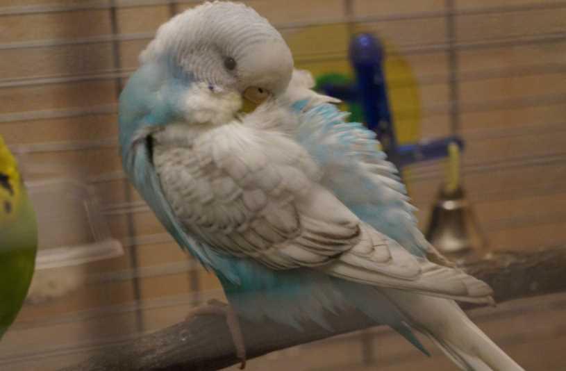 сколько спят волнистые попугаи в сутки
