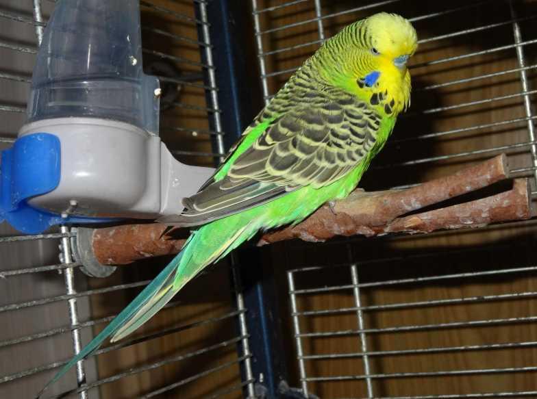 чешский волнистый попугай