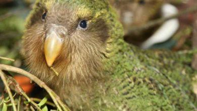 Photo of Какапо или совиный попугай