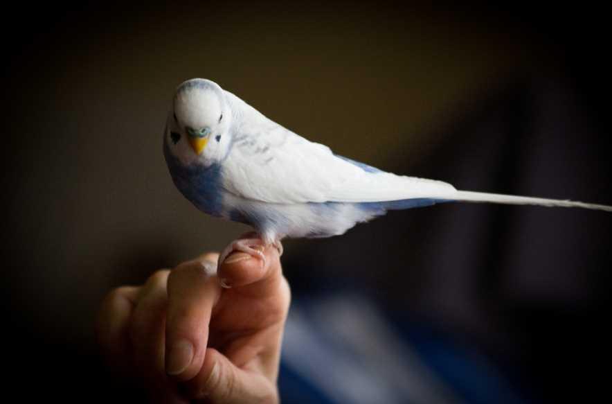 как быстро приручить волнистого попугая к рукам