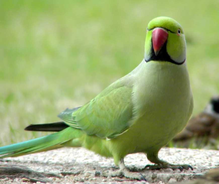 разговаривает Ожереловый попугай