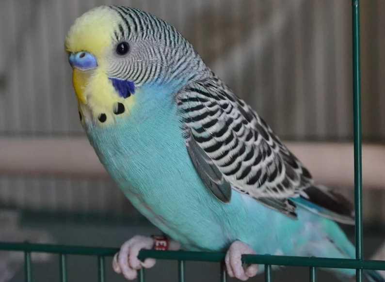 как приучить попугая вылетать из клетки