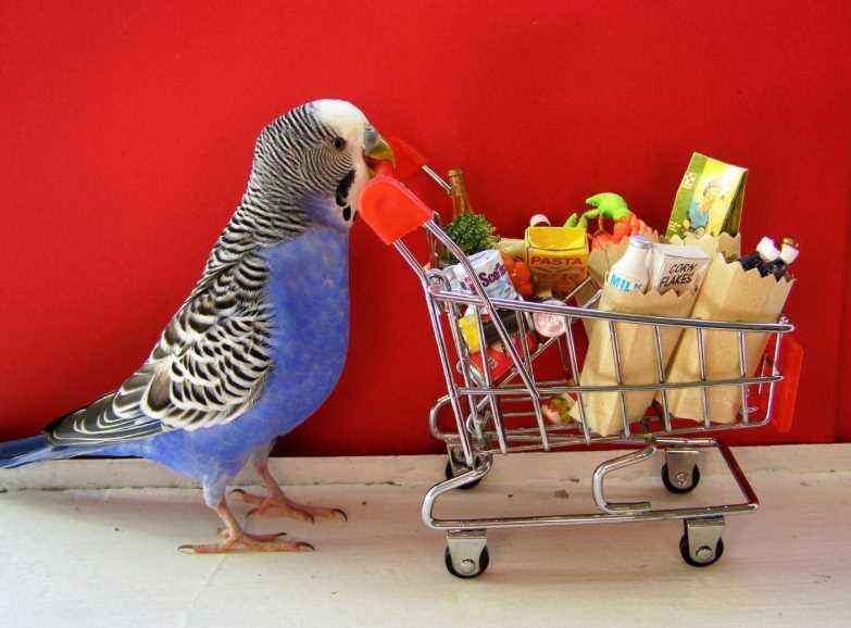 как развеселить волнистого попугая