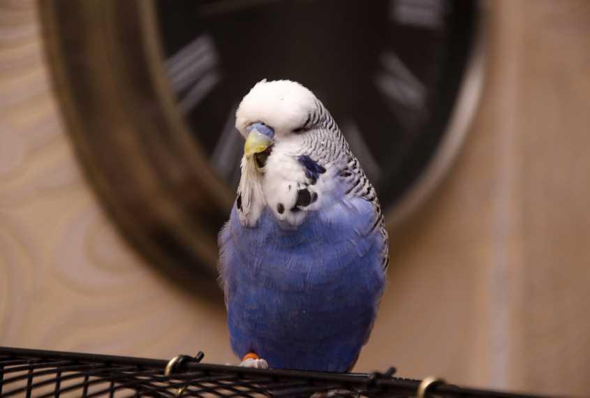 получех волнистый попугай