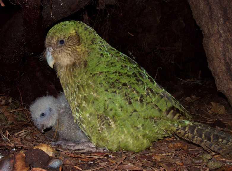 совиные попугаи