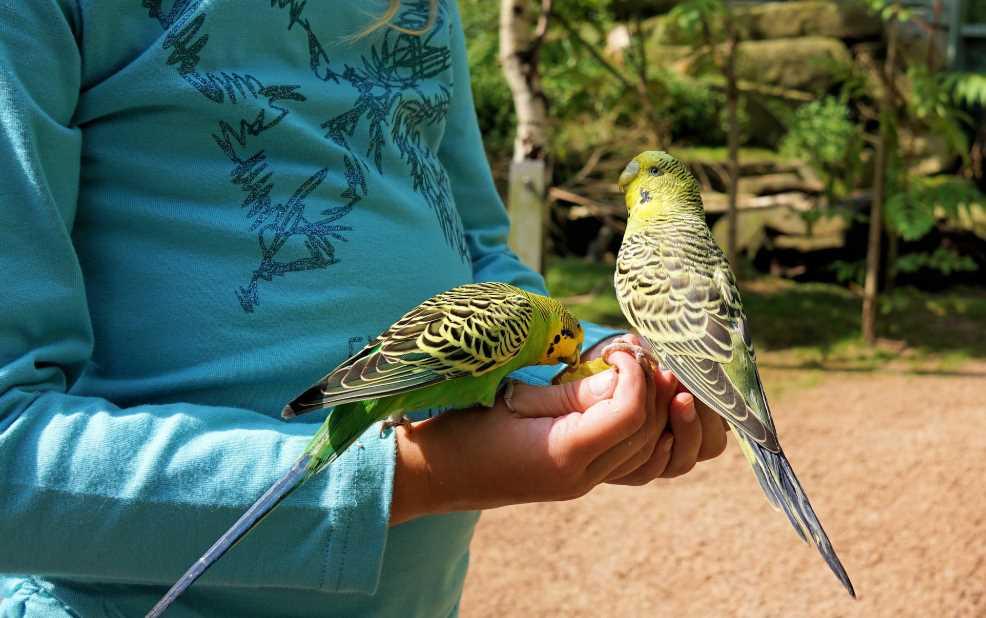 как приручить попугая к рукам волнистого мальчика