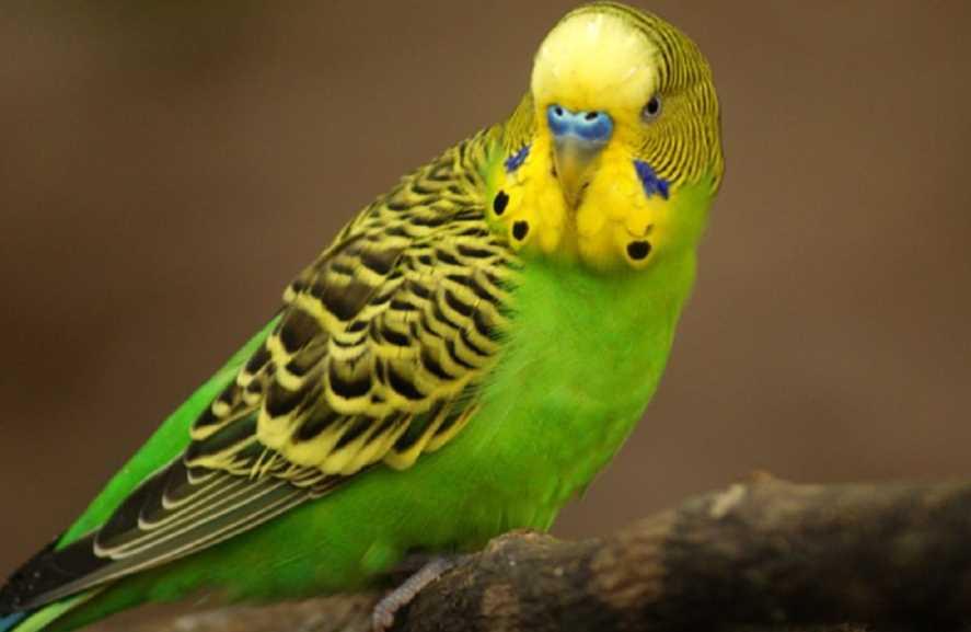 клички для попугаев