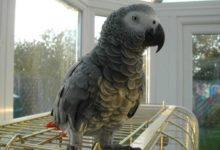 Photo of Можно ли научить попугая жако говорить