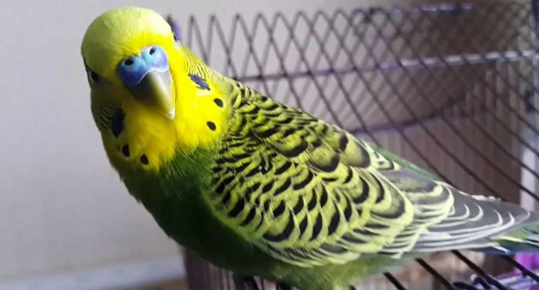 как поймать попугая