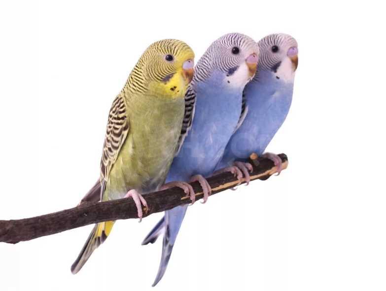 сколько живут волнистые попугаи в домашних условиях в клетке