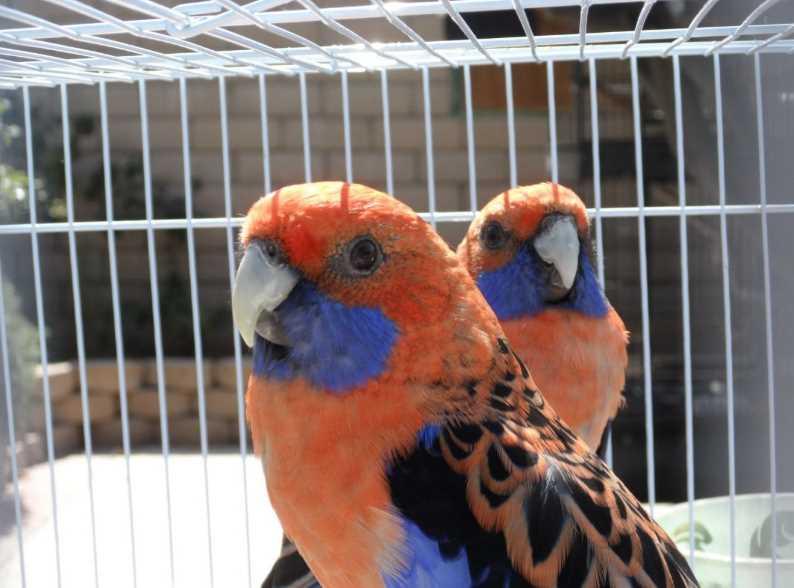 попугай красный розелла