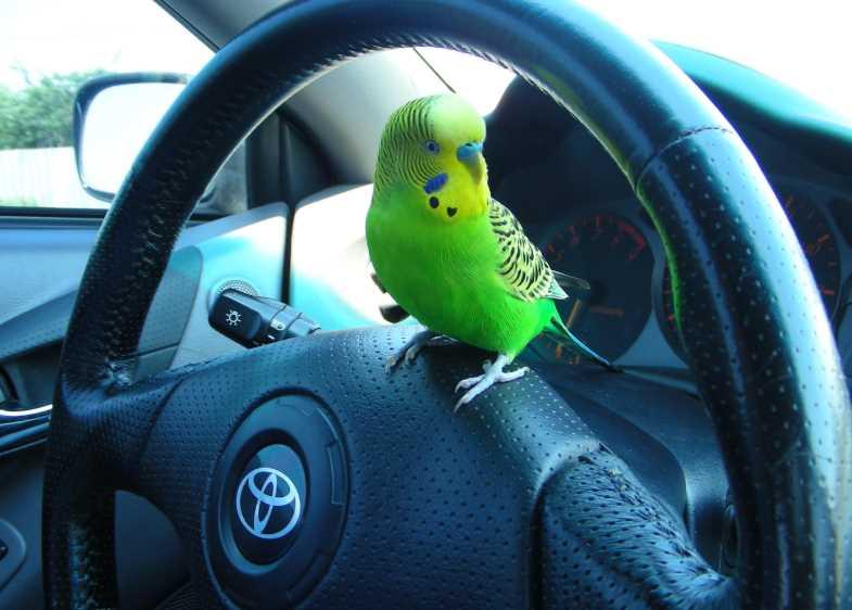 как ухаживать за волнистыми попугаями в домашних условиях