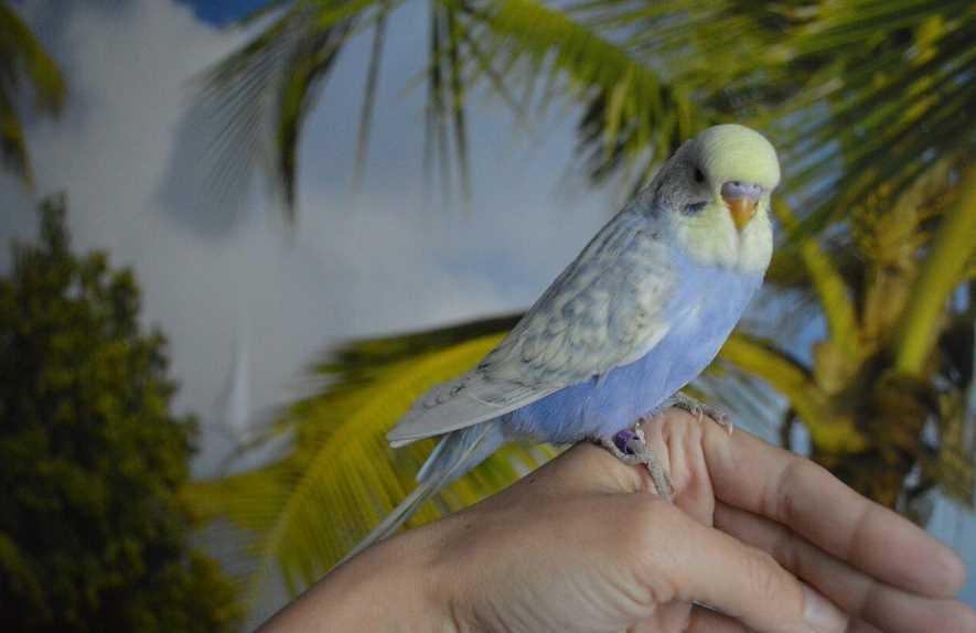 как приручить попугая к рукам если он кусается и боится