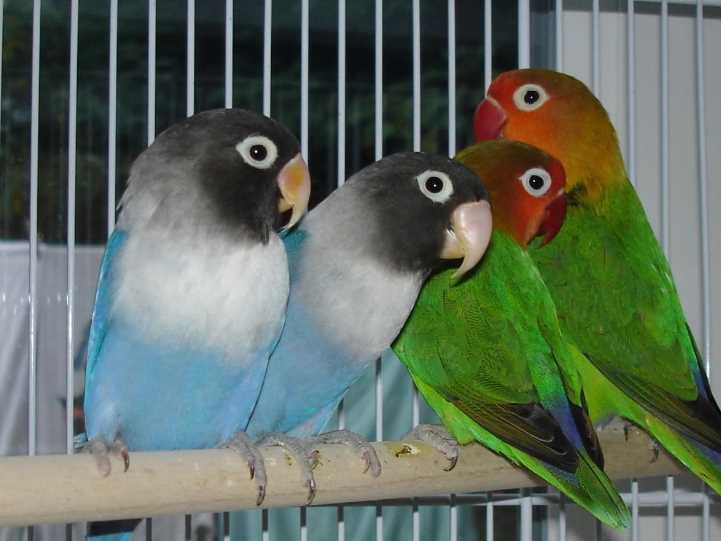 попугаи неразлучники разговаривают или нет