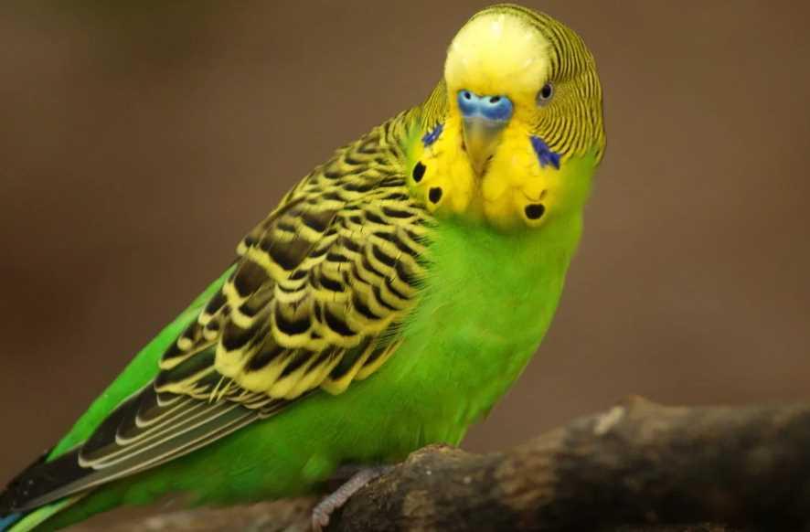сколько живет волнистый попугай