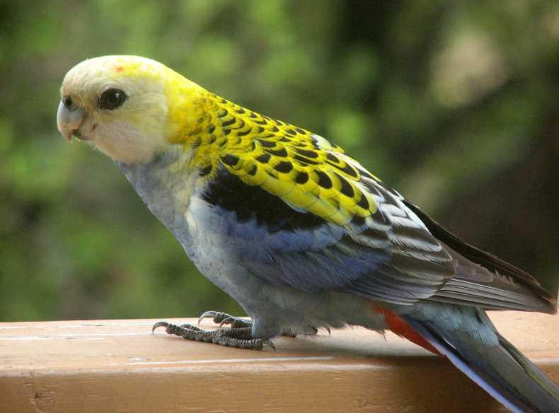 попугаев розелла виды