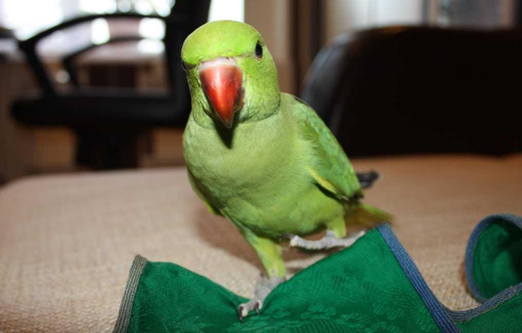 говорящий ожереловый попугай