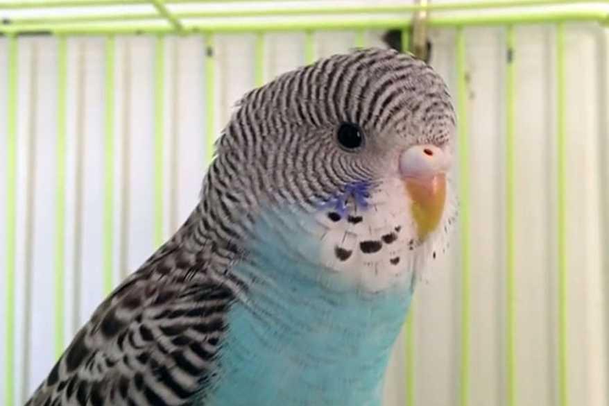 могут ли у волнистых попугаев быть блохи