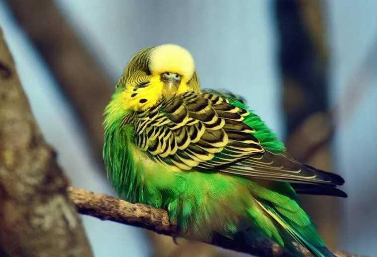 как приучить попугая залетать в клетку