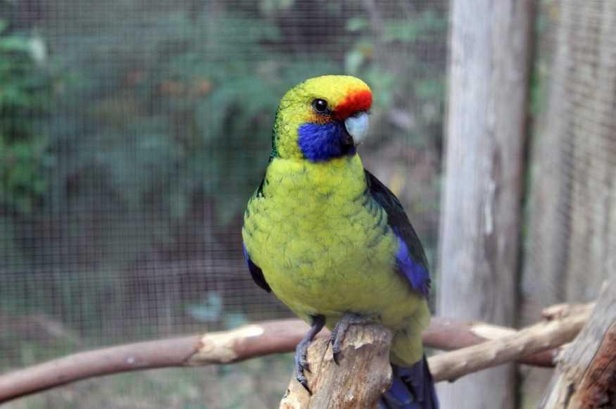 розеллы попугаи