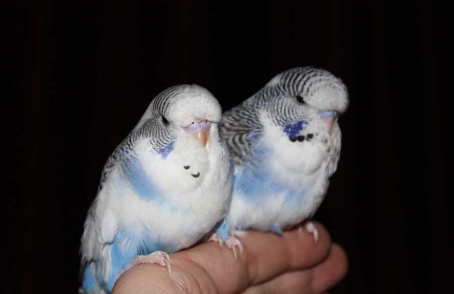 получехи попугаи чем отличаются от волнистых