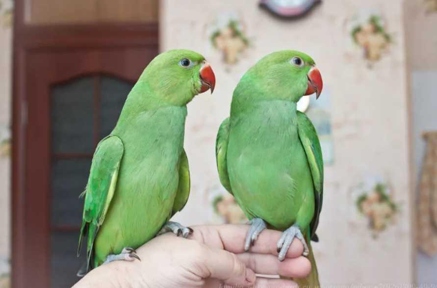 ожереловый попугай говорит