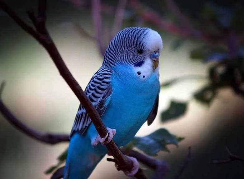 сколько живут волнистые попугаи в домашних условиях